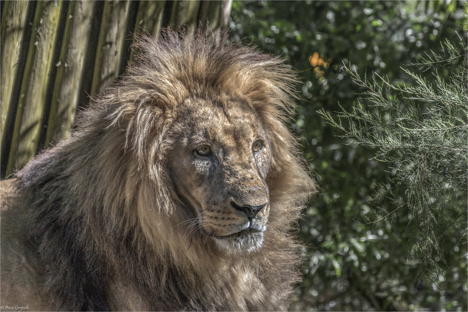 King Lion - Panthera leo