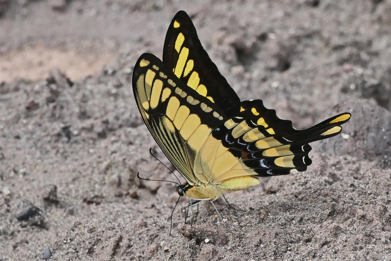 King Page Swallowtail / Heraclides thoas
