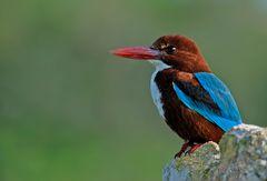 Kingfisher auf Felsen