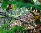 Kingfisher - Bali