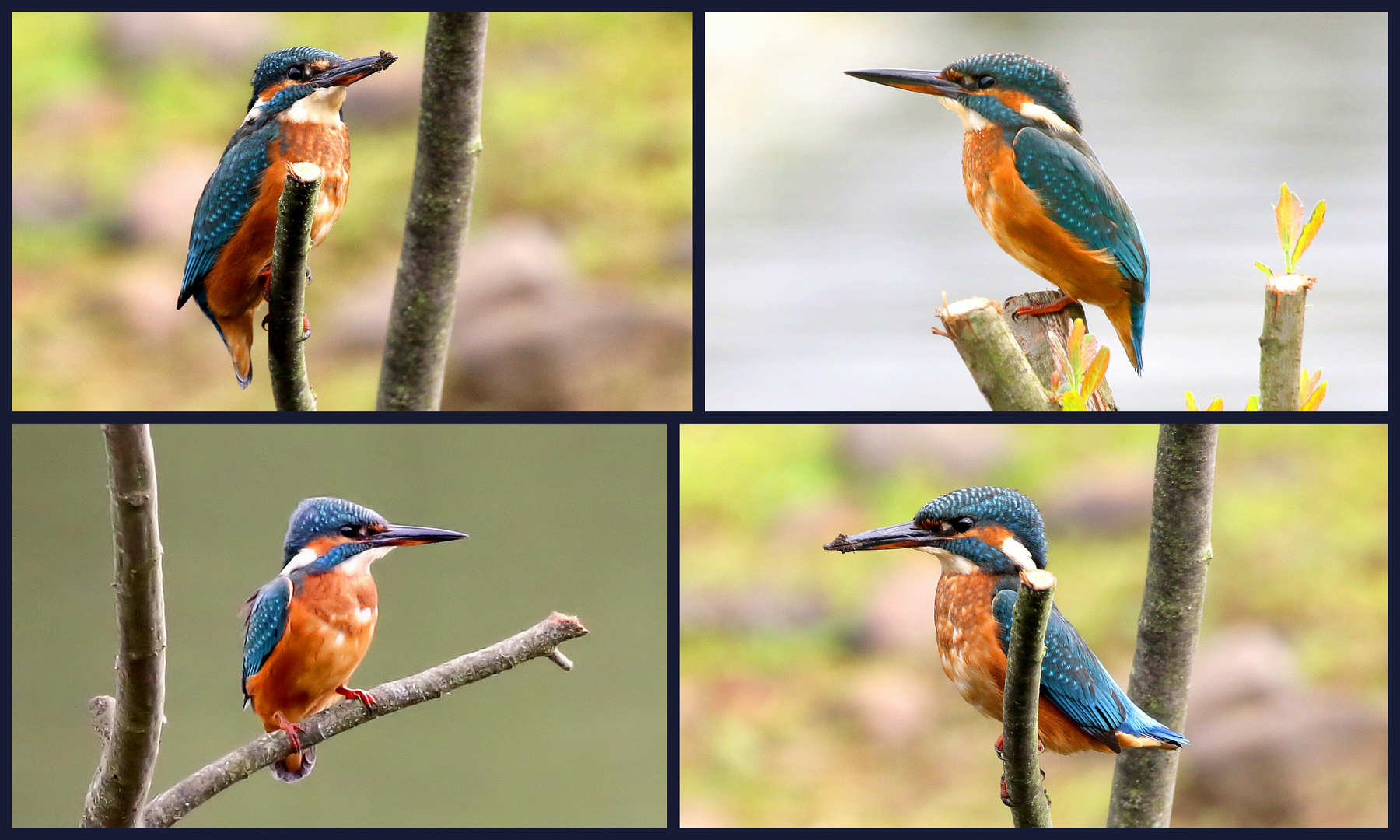 Kingfisher Collage.