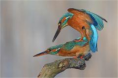 Kingfisher in love