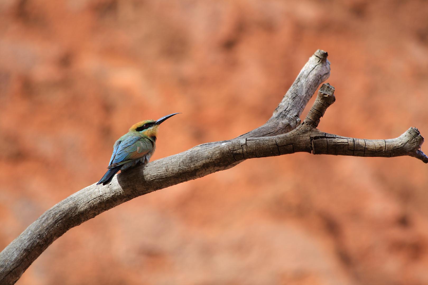 Kingfisher / Rainbow Bee-Eater