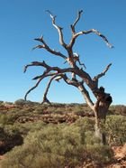 Kings Canyon - Dead Tree
