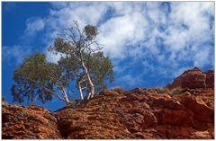 Kings-Canyon-Tree