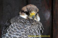 Kintzheim, Volerie des aigles,  Lannerfalke (Falco biarmicus)