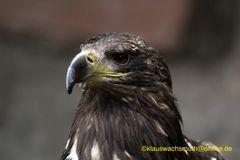 Kintzheim, Volerie des aigles, Raubadler oder Savannenadler (Aquila rapax)