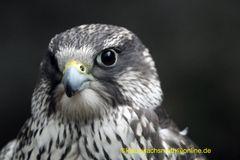 Kintzheim, Volerie des aigles,  Sakerfalke, Saker oder Würgfalke (Falco cherrug)