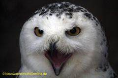 Kintzheim, Volerie des aigles,  Schnee-Eule (Bubo scandiacus)