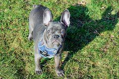 KIRA - Französischen Bulldogge -