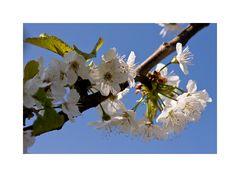 Kirchblüten I