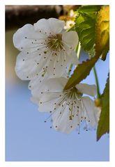 Kirchblüten II