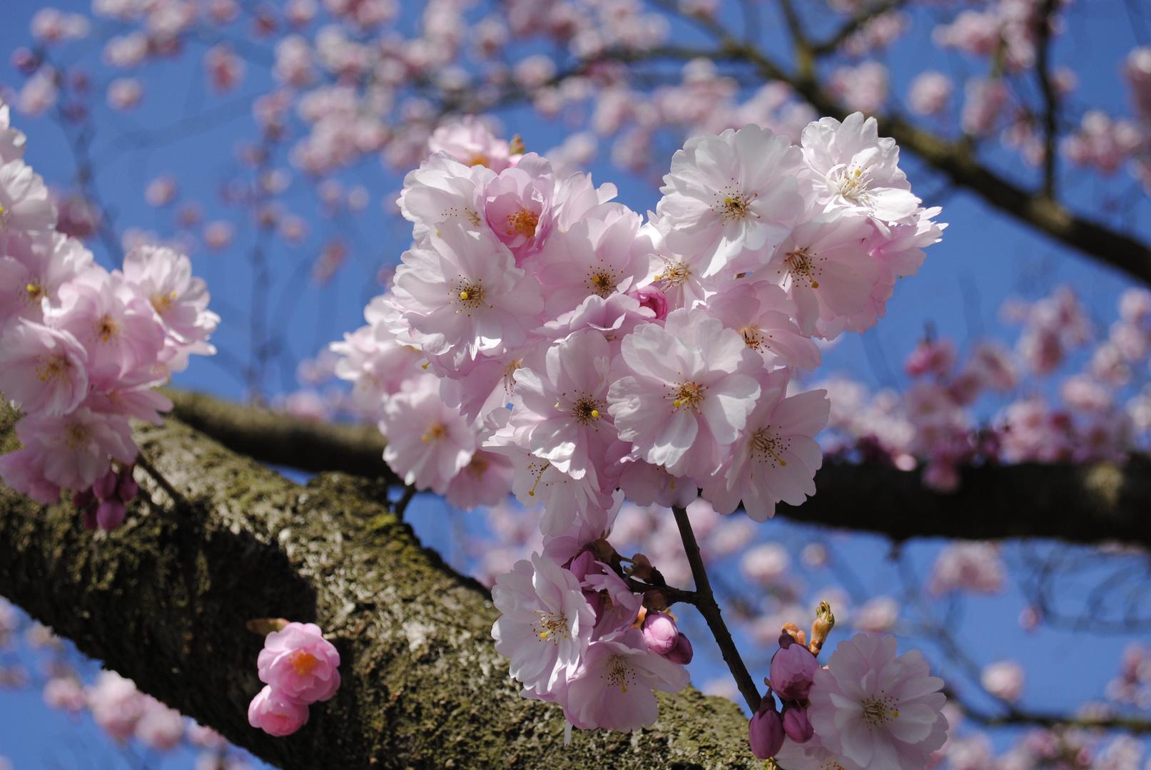 Kirei na Sakura
