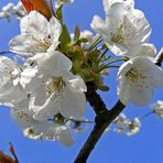 Kirsch-Blüte