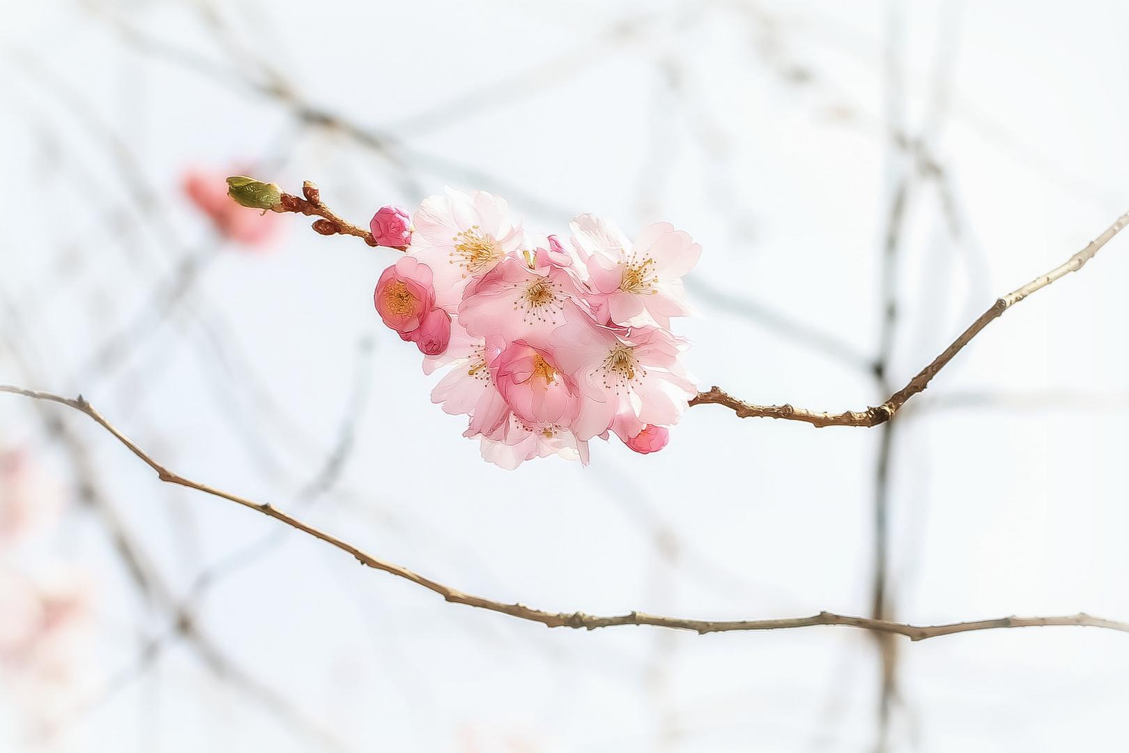 Kirsch-Blüten