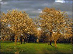 Kirschbäume in der Abendsonne