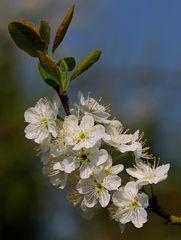 Kirschbaumblüte II