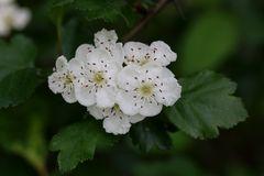 Kirsch/Birnblüte