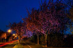 Kirschblühte im Holzweg