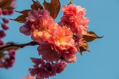 Kirschblühte in der Morgensonne