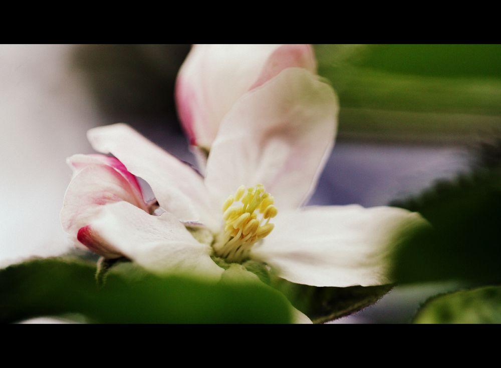 Kirschblüte #2