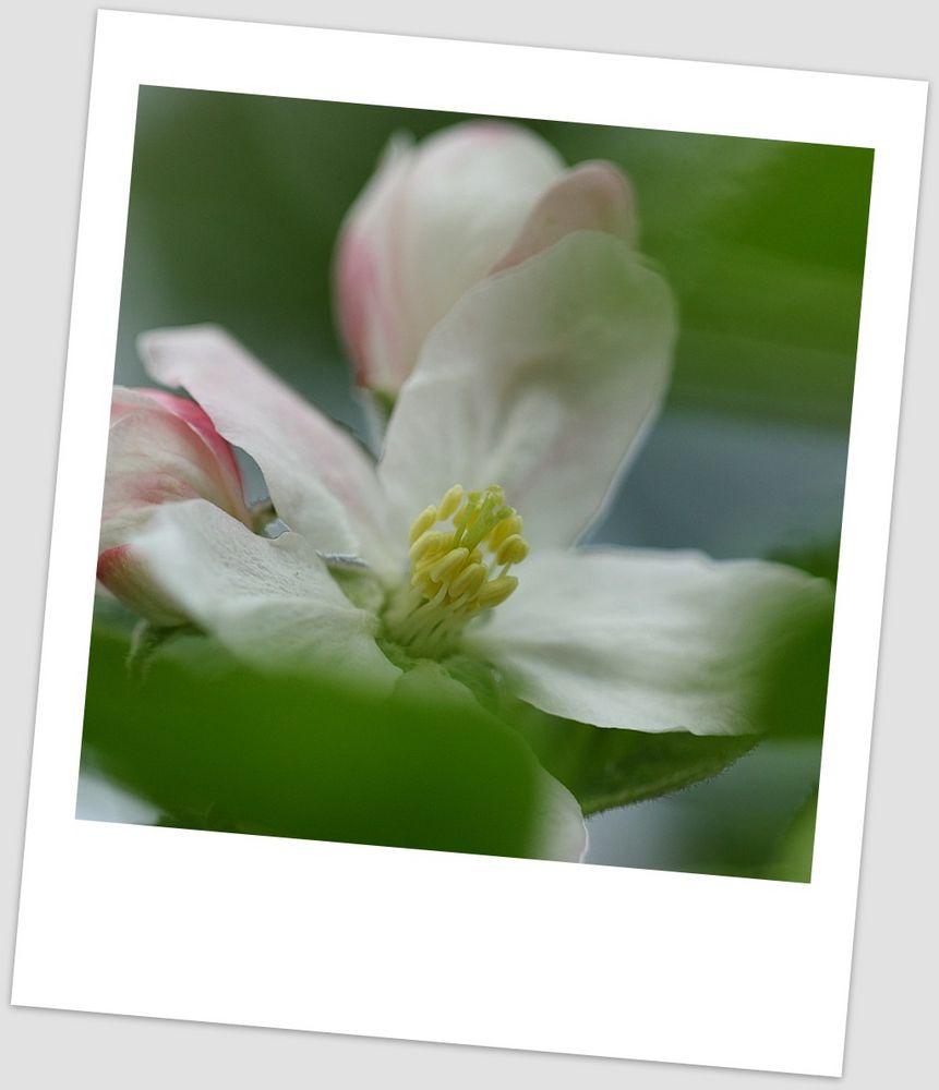 Kirschblüte #4