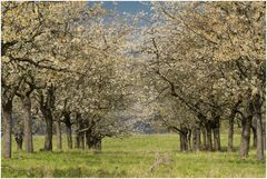 Kirschblüte 5