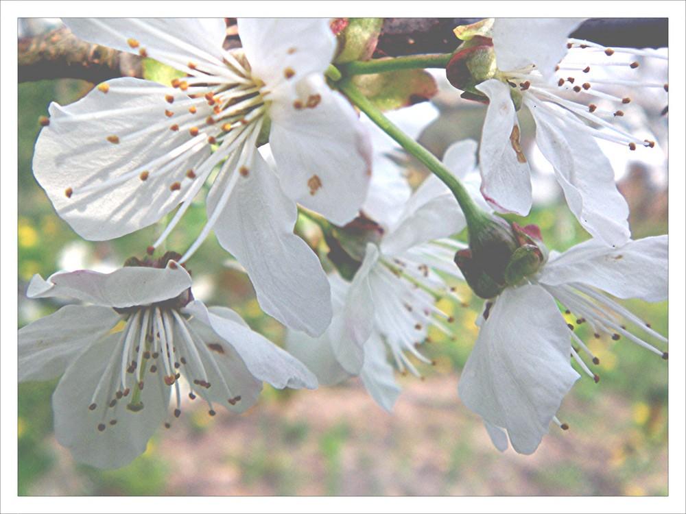 Kirschblüte...