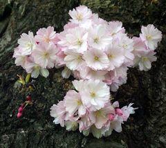 Kirschblüte.....