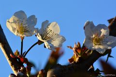Kirschblüte am Abend
