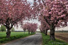Kirschblüte am Niederrhein ....
