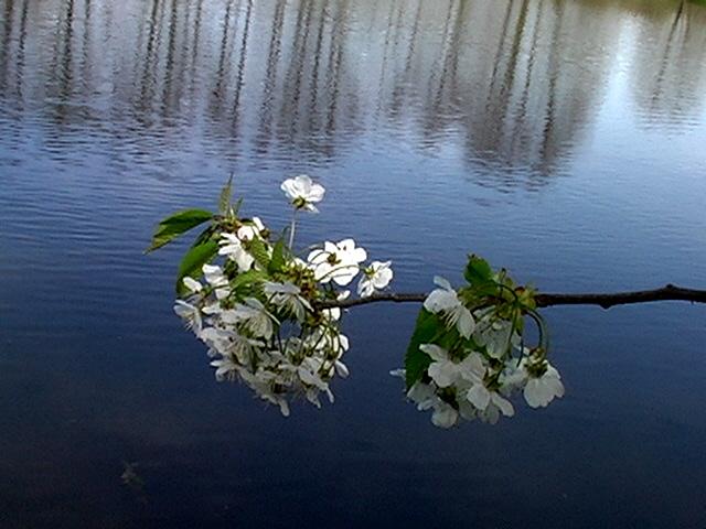 Kirschblüte am See