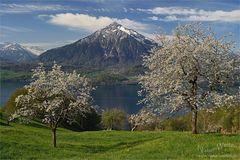 Kirschblüte am Thunersee