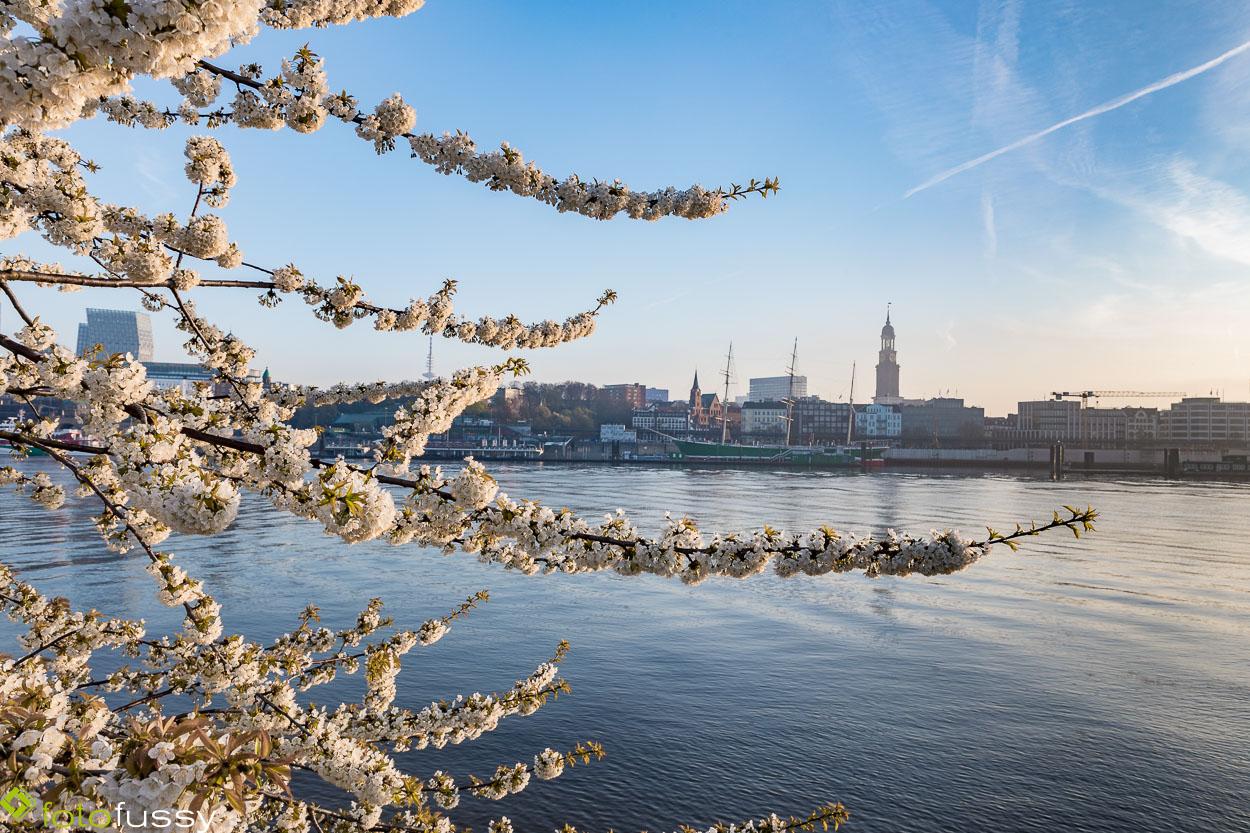 Kirschblüte an der Elbe