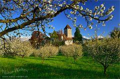 Kirschblüte beim Schloss Spiez