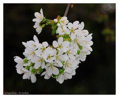 ---- Kirschblüte ----