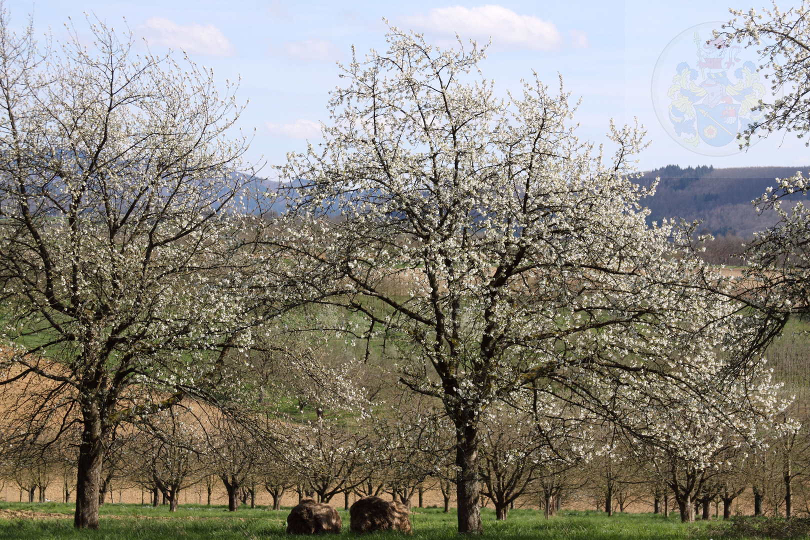 Kirschblüte Eggener Tal (Auggen)