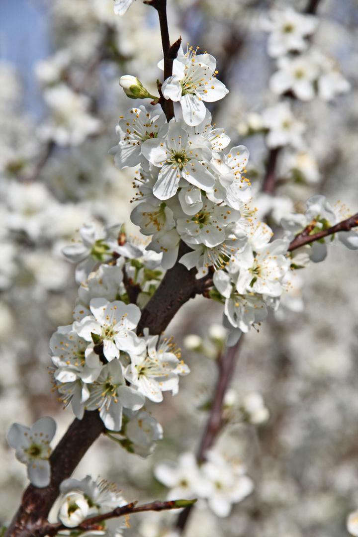 Kirschblüte ... ENDLICH :-).