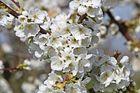 Kirschblüte ... ENDLICH :-)........