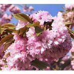 Kirschblüte ... endlich