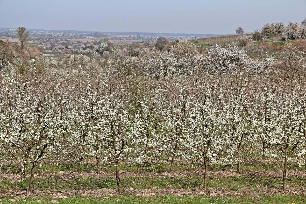 Kirschblüte ... ENDLICH :-).....