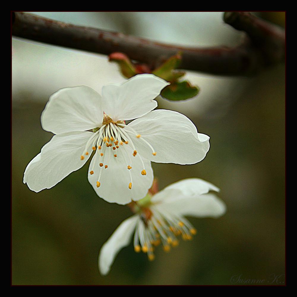 .Kirschblüte.