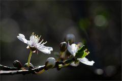 Kirschblüte (I)