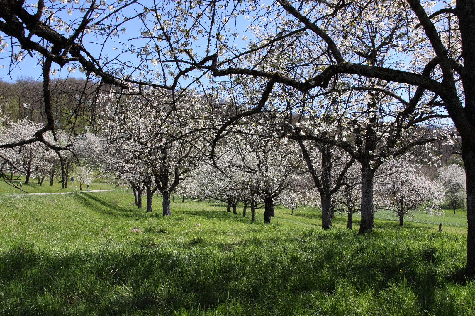 Kirschblüte im Eggener Tal - Markgräflerland