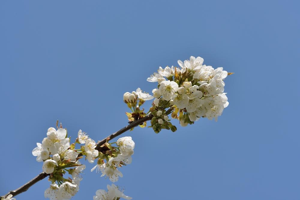 Kirschblüte im Kleingarten