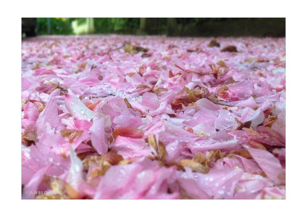 [Kirschblüte im Regen]