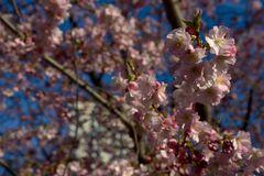 Kirschblüte im Stadtpark