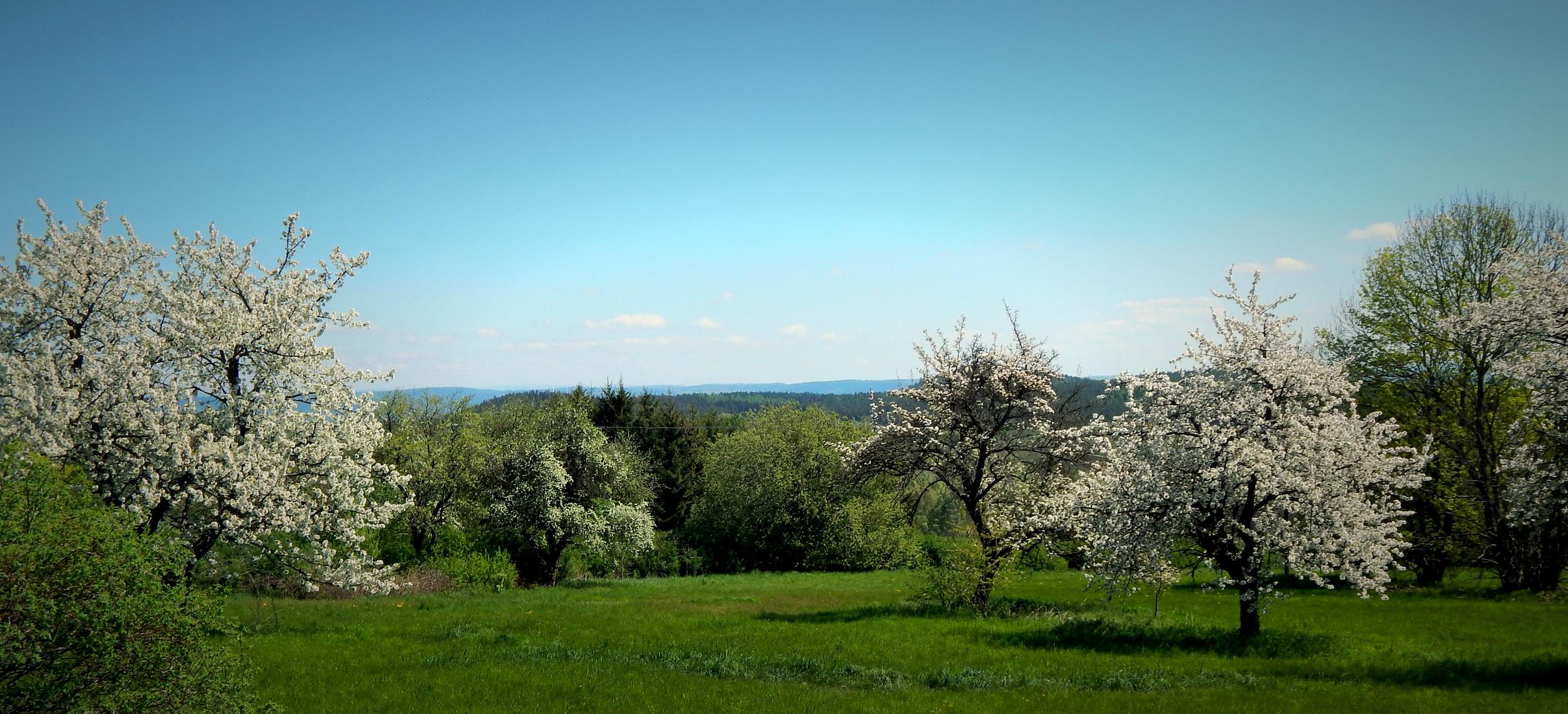 Kirschblüte im Vogtland
