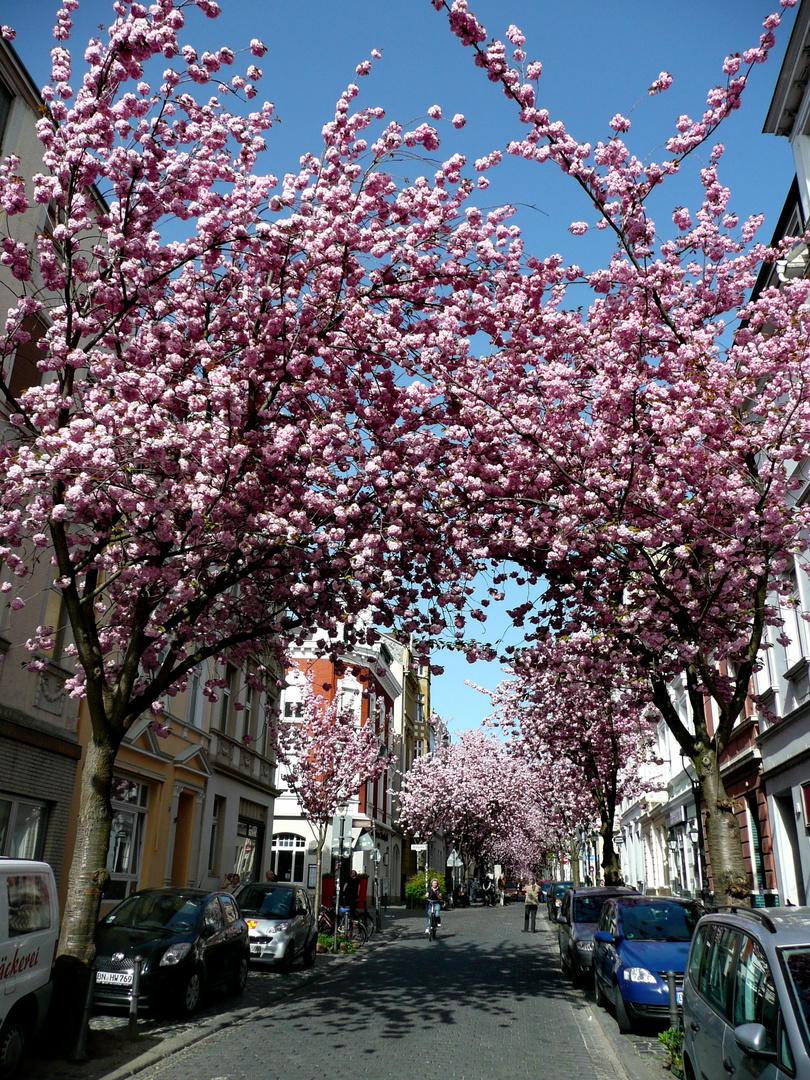 Kirschblüte in Bonn Foto & Bild | deutschland, europe