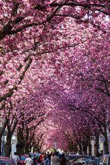 Kirschblüte in Bonn / Heerstr. #1